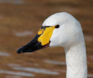 Portrait of a Bewick's Swan at Slimbridge (captive)