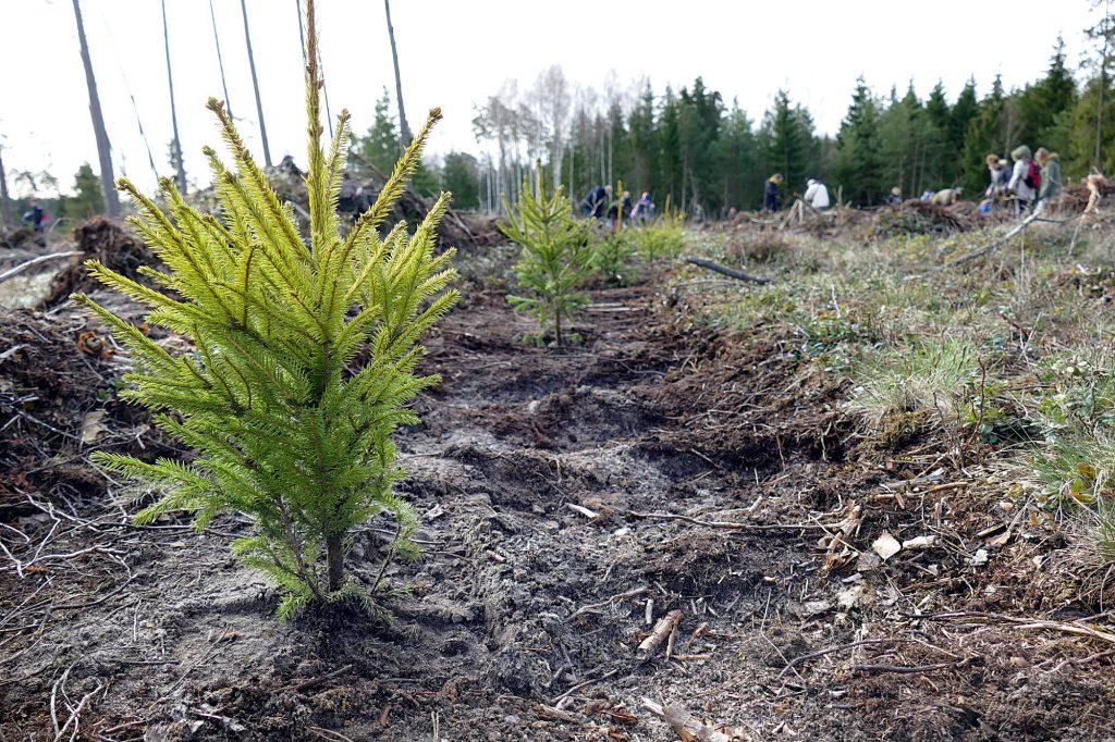 Sodinukais Šilutės urėdiją aprūpina Norkaičių girininkijos medelynas, kuriame kasmet išauginama po 4 milijonus įvairių rūšių medelių sodinukų.
